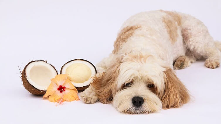 Some Great Benefits Of Coconut Oil For Dogs