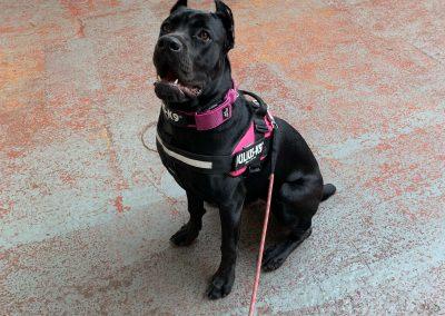 NK9 Dog Training Leeds Obedience (2)