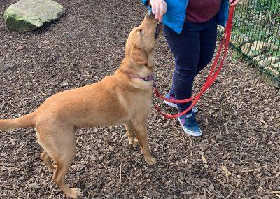 NK9 Dog Training Leeds Obedience (8)